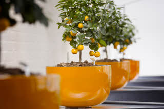 Banquet at Scandic Silkeborg, decorative orange trees